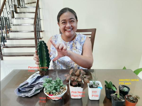 peruvian cactus and nerve plant price